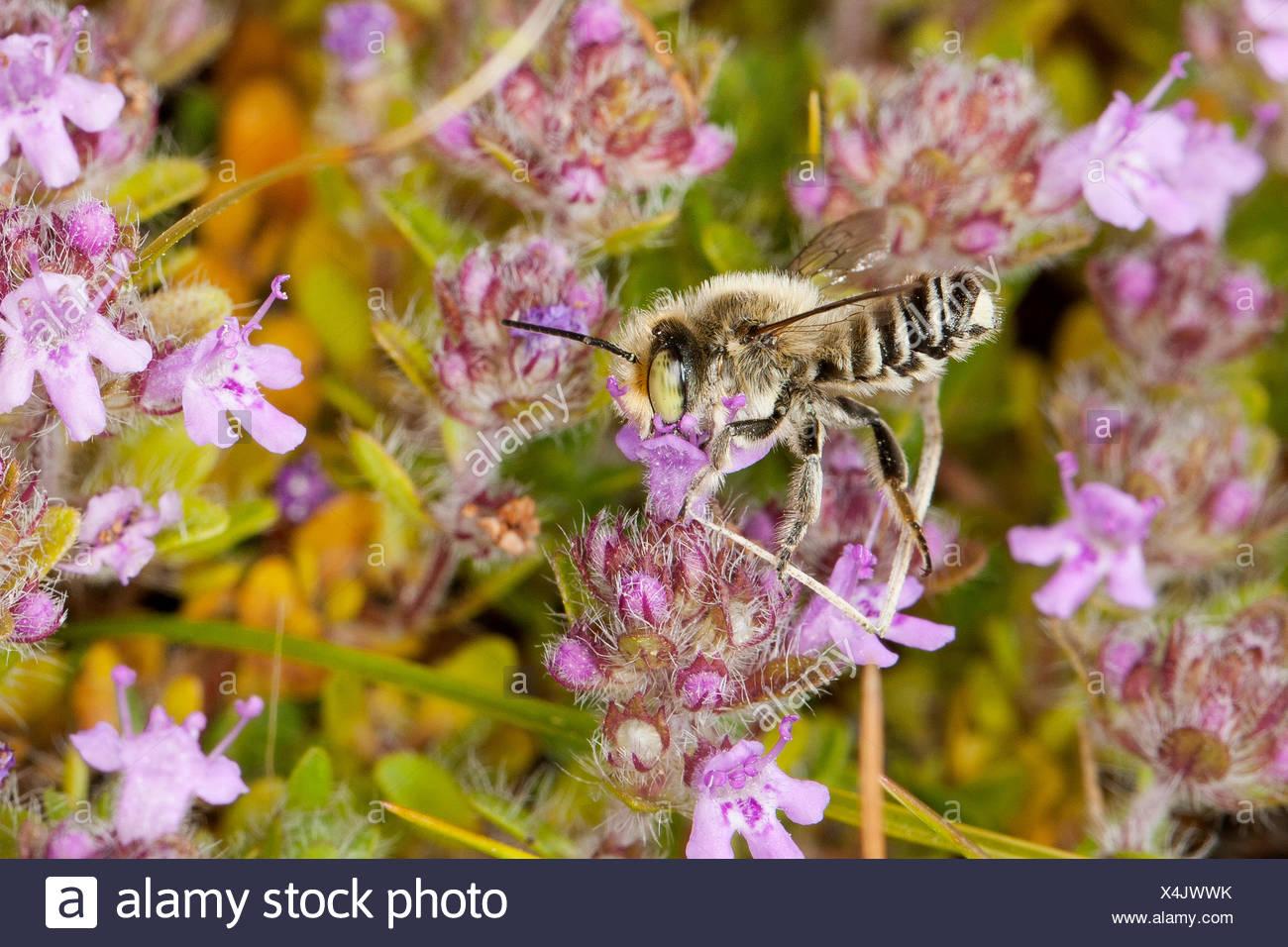 (Megachile découpeuse de spec.), homme visite une fleur de thym, Allemagne Photo Stock