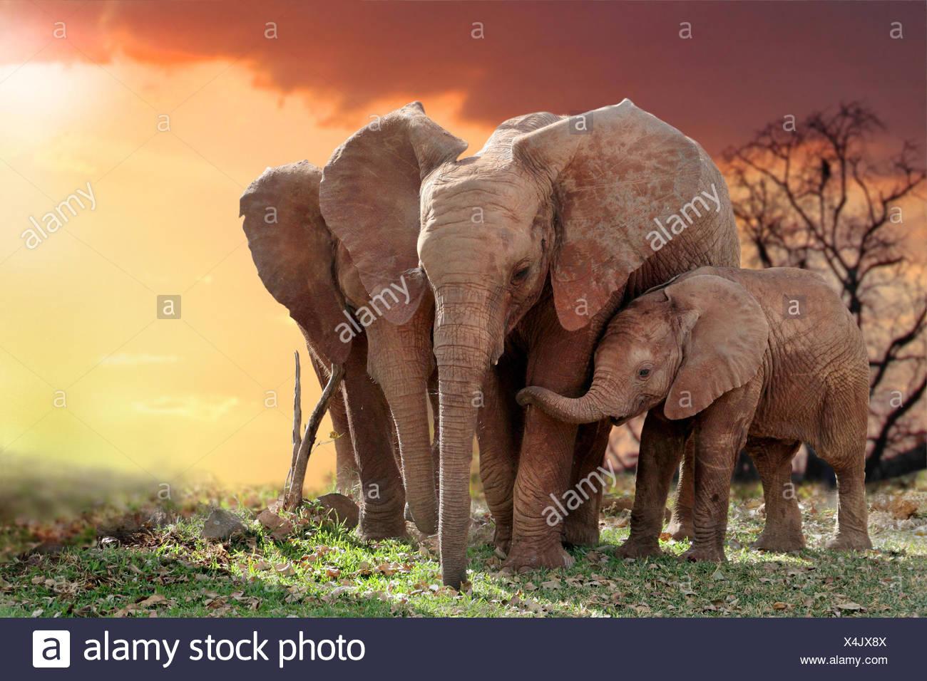 L'éléphant africain (Loxodonta africana), les éléphants avec jeune animal dans le coucher du soleil, Parc National d'Amboseli, Kenya Photo Stock