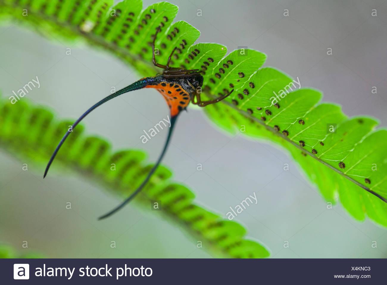 Un crabe épineux, Gasteracantha orbweaver arcuata, tête en bas sur une fougère dans la forêt tropicale. Photo Stock