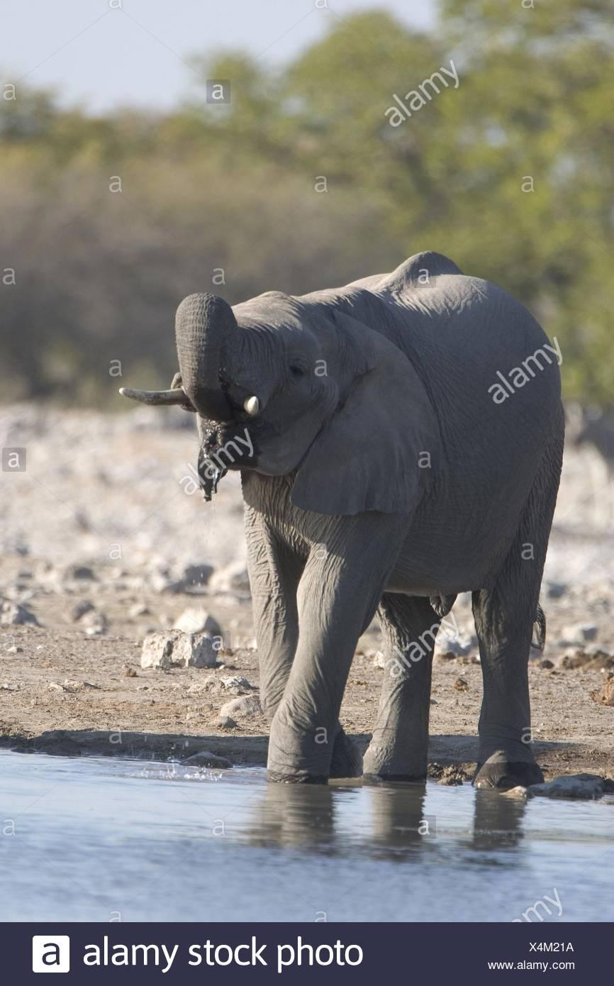 L'éléphant de boire Photo Stock