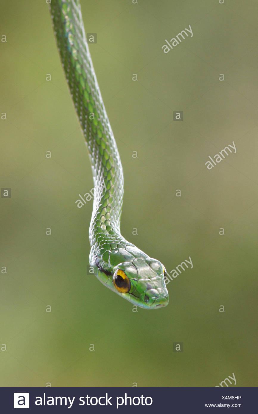 Serpent perché sur une branche dans le Costa Rica, Amérique centrale. Photo Stock