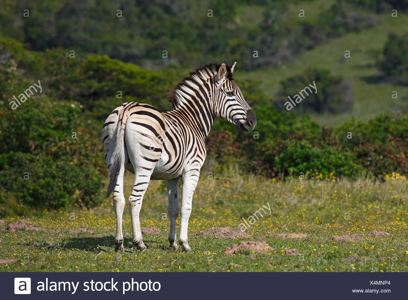 La moule quagga (Equus burchelli) le zèbre de Burchell, Addo Elephant National Park, Afrique du Sud Photo Stock