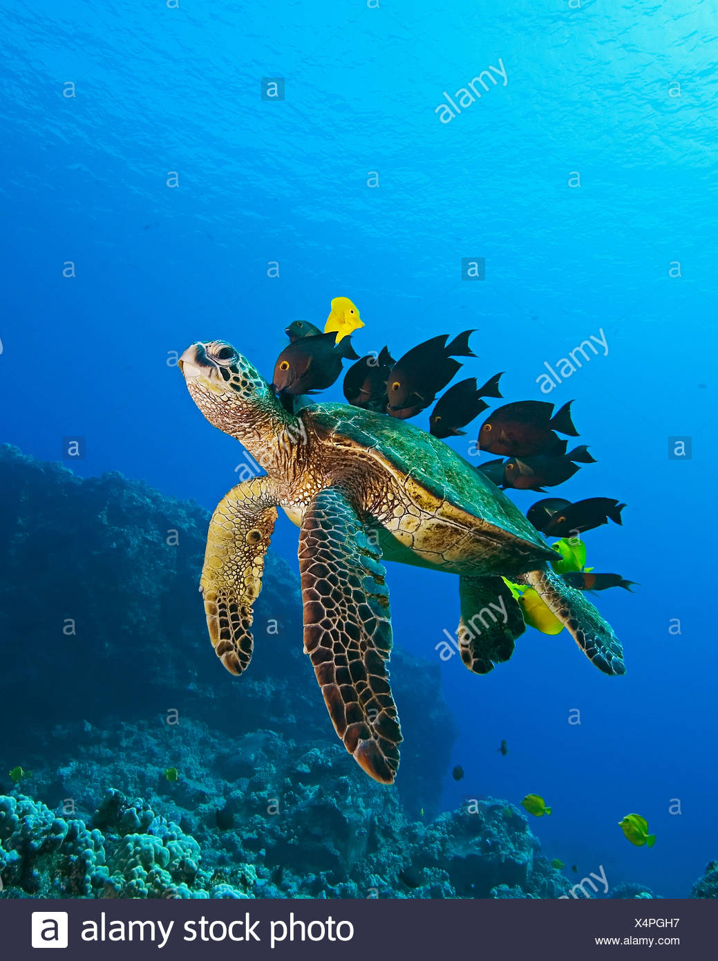Tortue de mer verte nettoyés par les poissons, Chelonia mydas, Big Island, Hawaii, USA Photo Stock