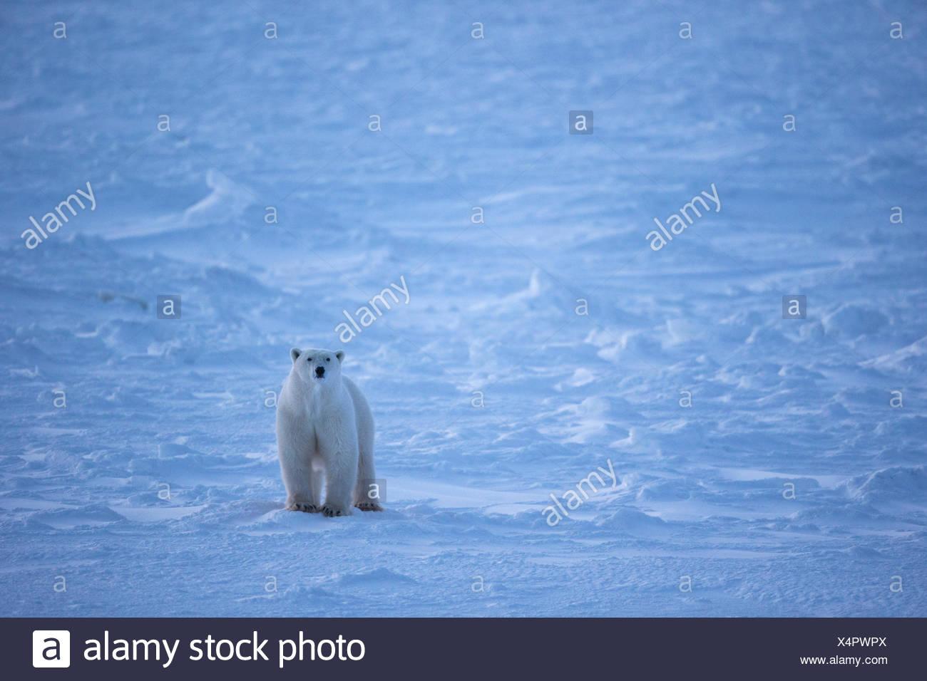 L'ours polaire (Ursus maritimus), Cape Churchill, Parc National de Wapusk, au Manitoba. Banque D'Images