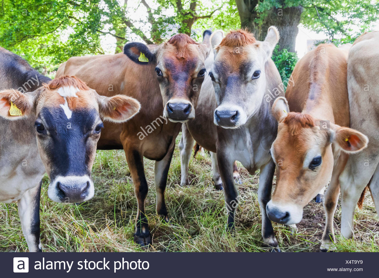 Royaume-uni, Iles Anglo-Normandes, Jersey, Jersey Cows Photo Stock