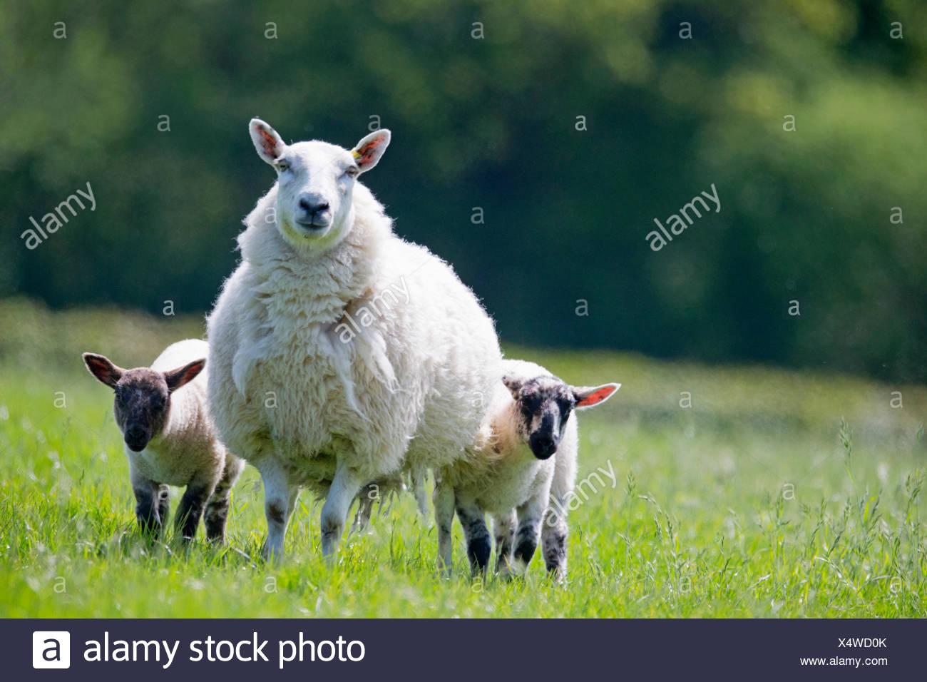 Portrait de moutons et d'agneaux à sunny green spring field Photo Stock