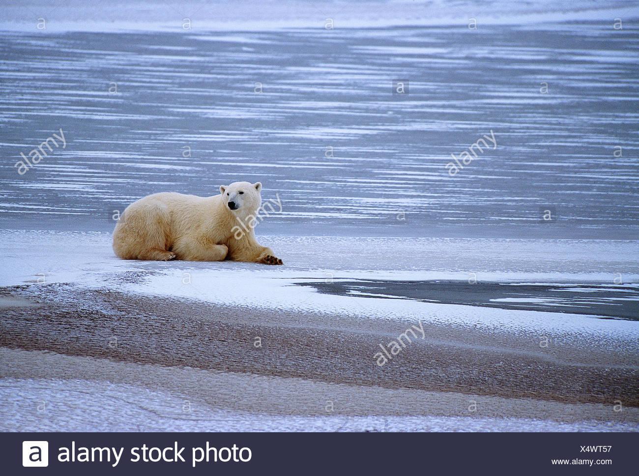 Canada. au Manitoba. Churchill. la faune. Ours polaire . Photo Stock