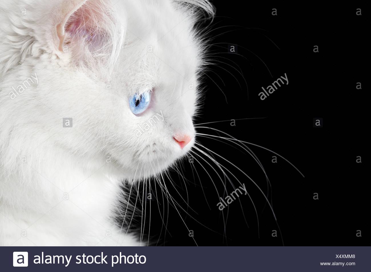 Portrait d'un chat blanc Photo Stock