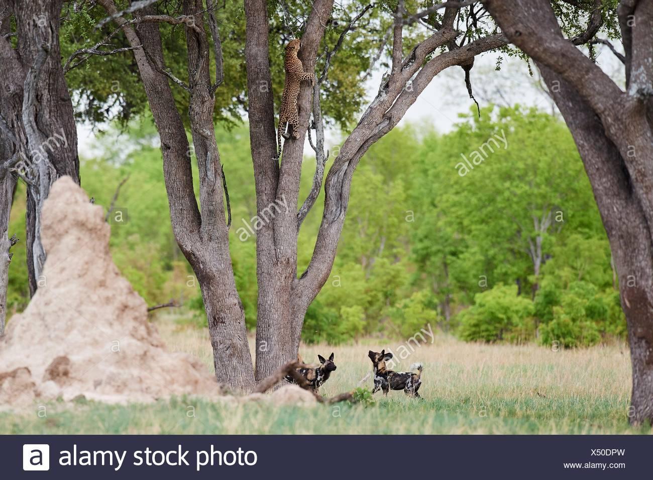 Lycaons (Lycaon pictus) poursuivant un léopard (Panthera pardus) qui grimpe sur un arbre pour se réfugier. Le parc national de Hwange, Zimbabwe. Photo Stock
