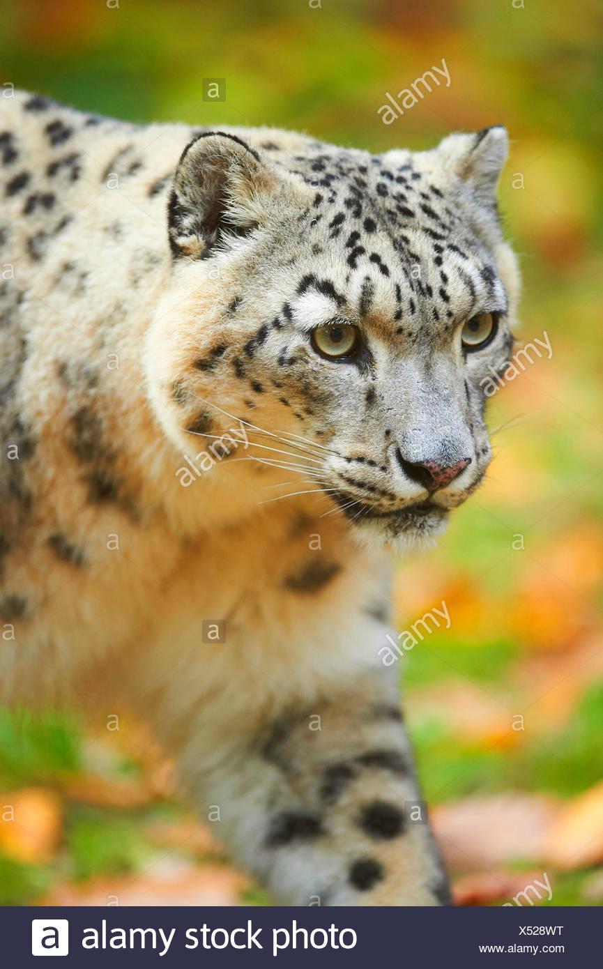 Léopard des neiges (Uncia uncia, Panthera uncia), léopard femelle, portrait Banque D'Images