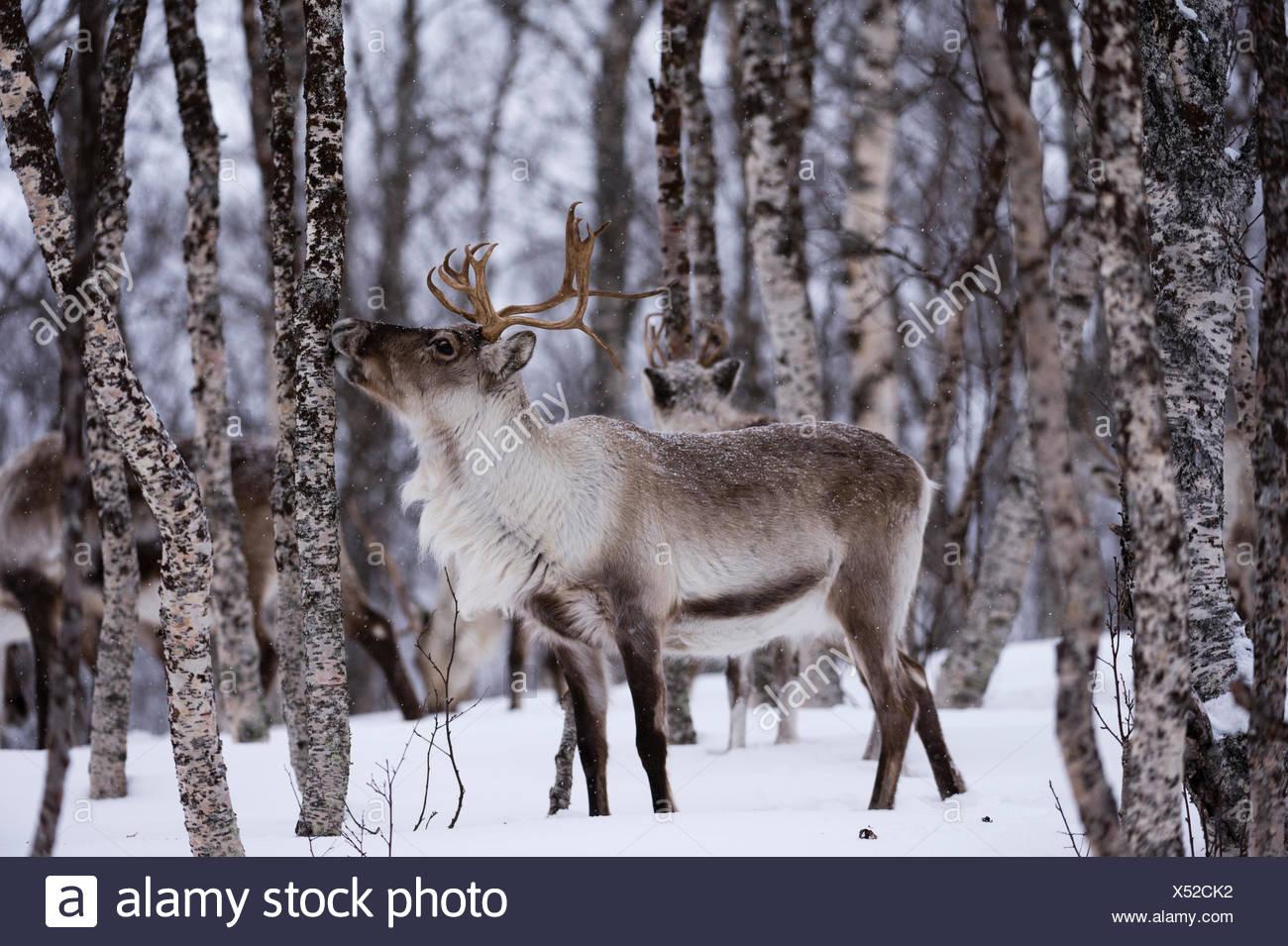 Un renne, Rangifer tarandus, dans une forêt enneigée. Banque D'Images