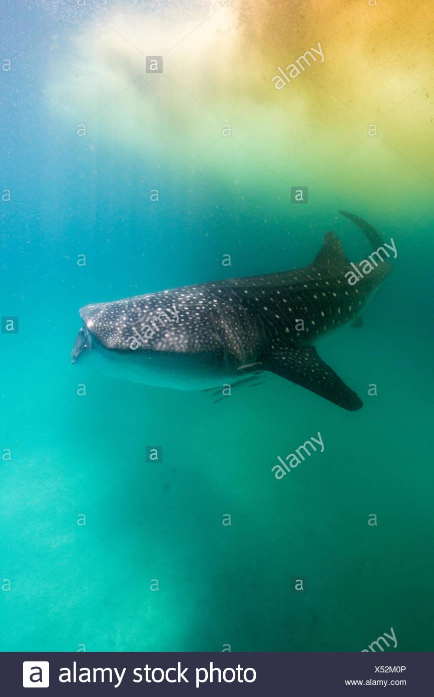 Requin-baleine sous Trichodesmium algues. Photo Stock