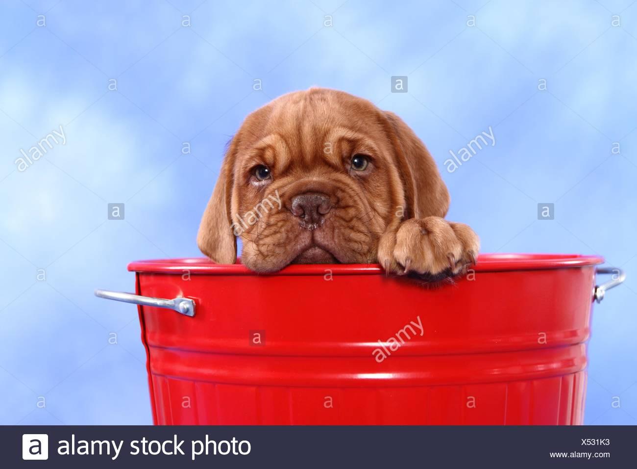 Dogue de Bordeaux Puppy Banque D'Images