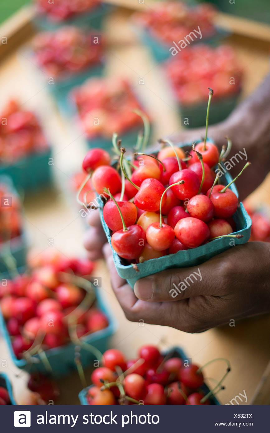 Les fruits biologiques affichés sur un support ferme. Les cerises dans des barquettes. Photo Stock