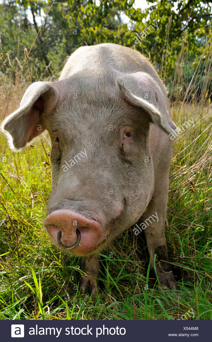 nouvelle version chaussures de séparation utilisation durable Cochon Domestique Photos & Cochon Domestique Images - Alamy