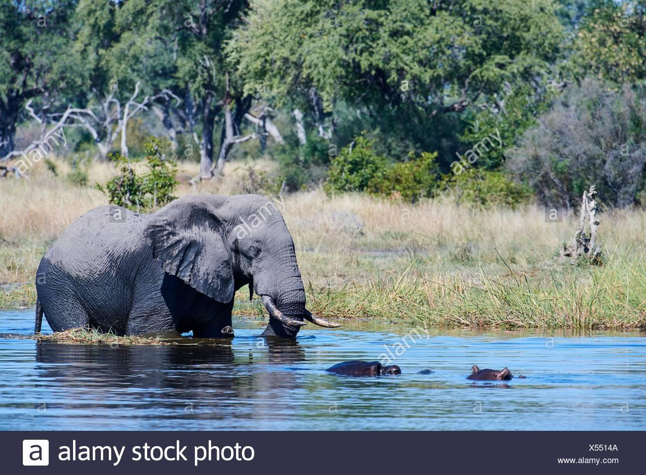Bull d'éléphants d'Afrique (Loxodonta africana) traversée de la rivière Khwai en face de l'Hippopotame (Hippopotamus amphibius), Khwai River Game Reserve, Banque D'Images
