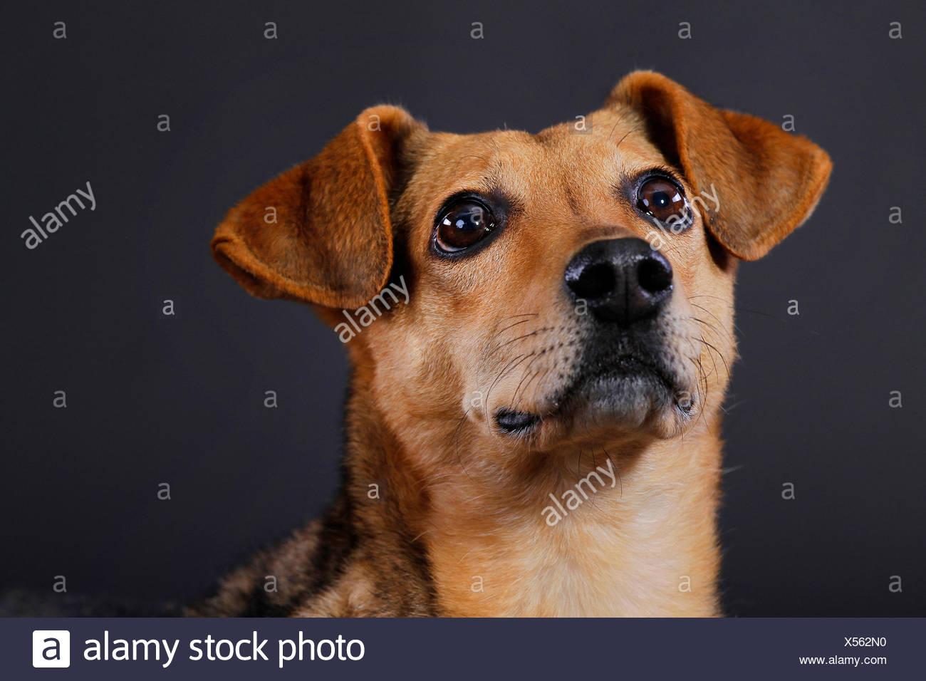 Chien domestique (Canis lupus f. familiaris), portrait en face de fond noir Photo Stock