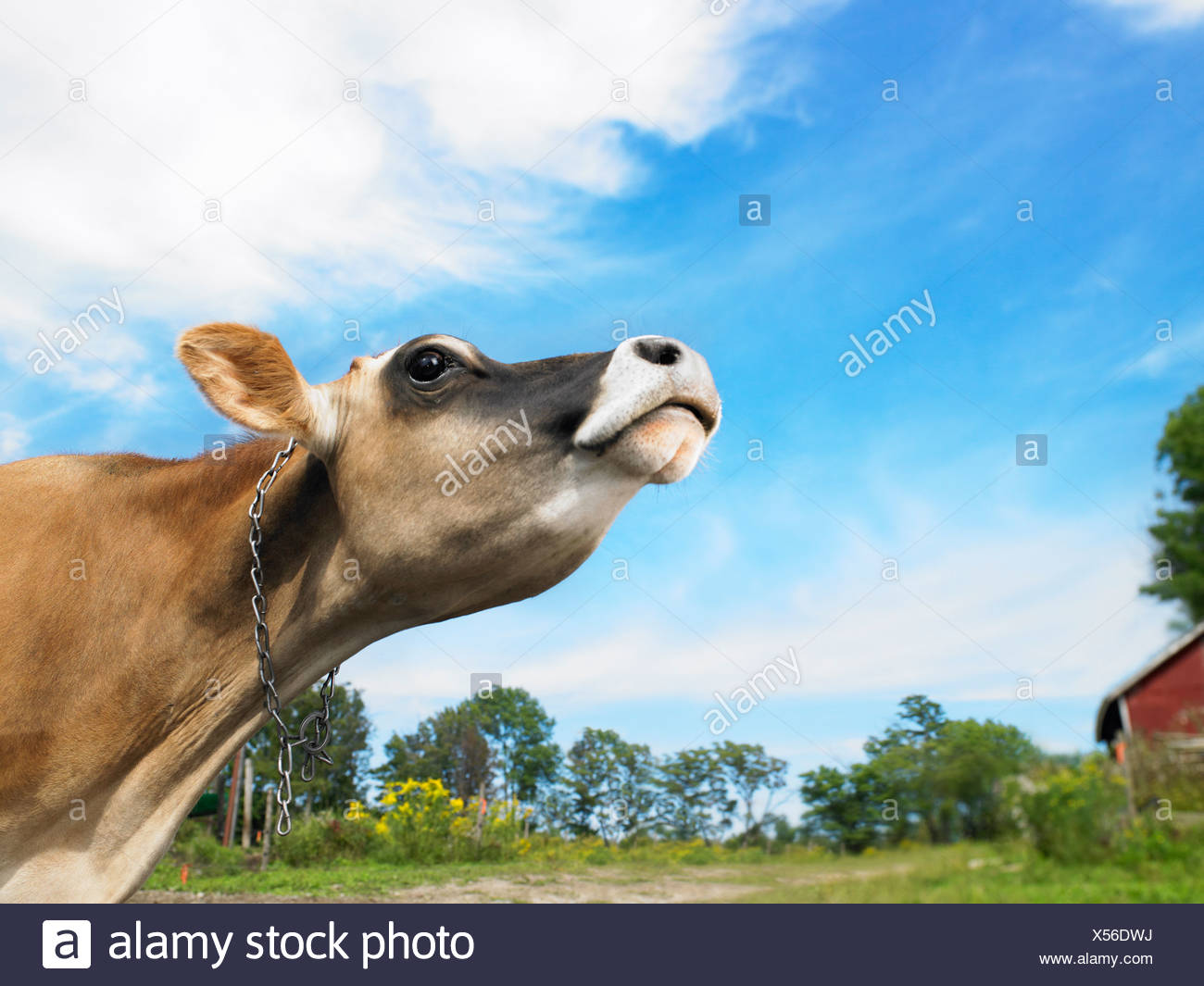 Vache avec le nez en l'air Photo Stock