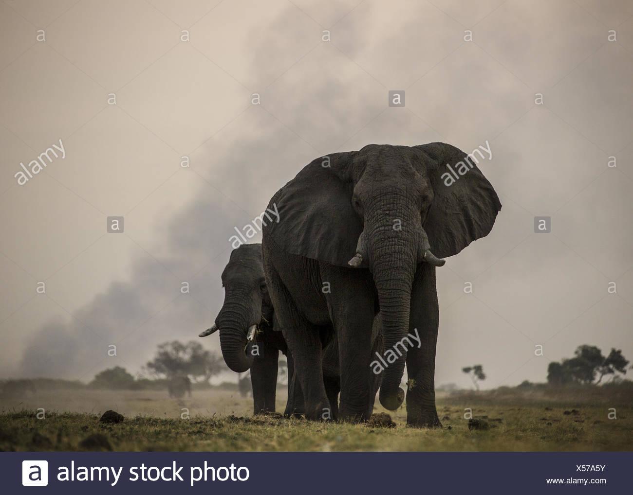 Deux éléphants, Loxodonta africana, paissent dans les plaines avec la fumée d'un feu au loin. Banque D'Images