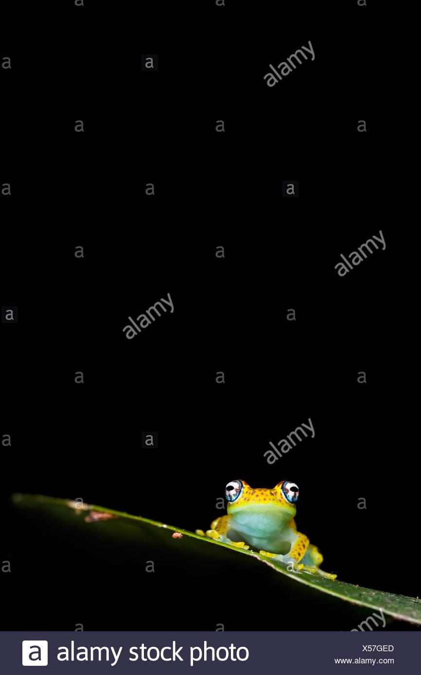 Rainette, sous-étage de la forêt tropicale, le Parc National de Mantadia, Madagascar. Photo Stock