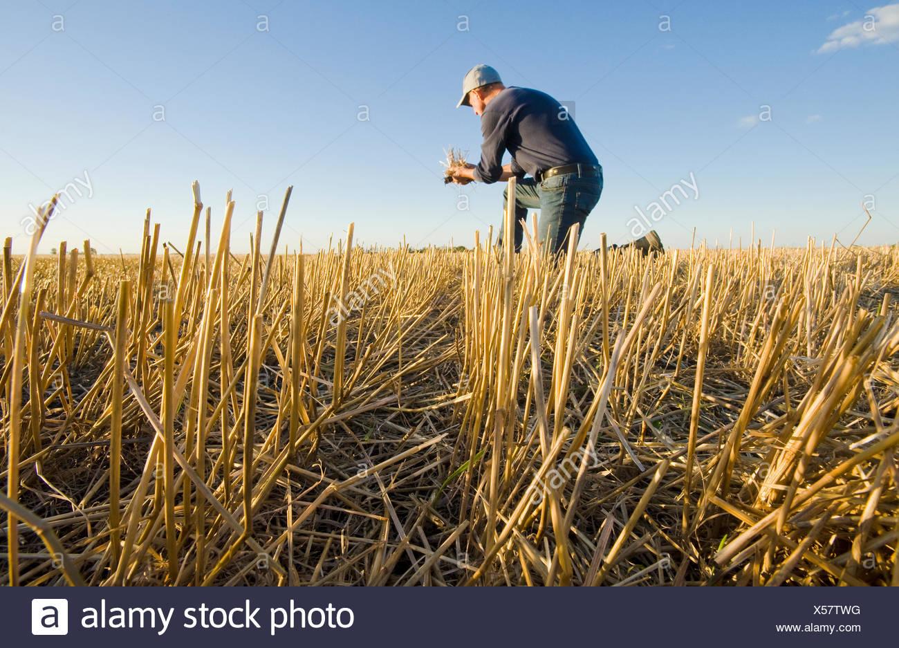 Fermier dans un champ de chaume de céréales près de Winnipeg, Manitoba, Canada Photo Stock