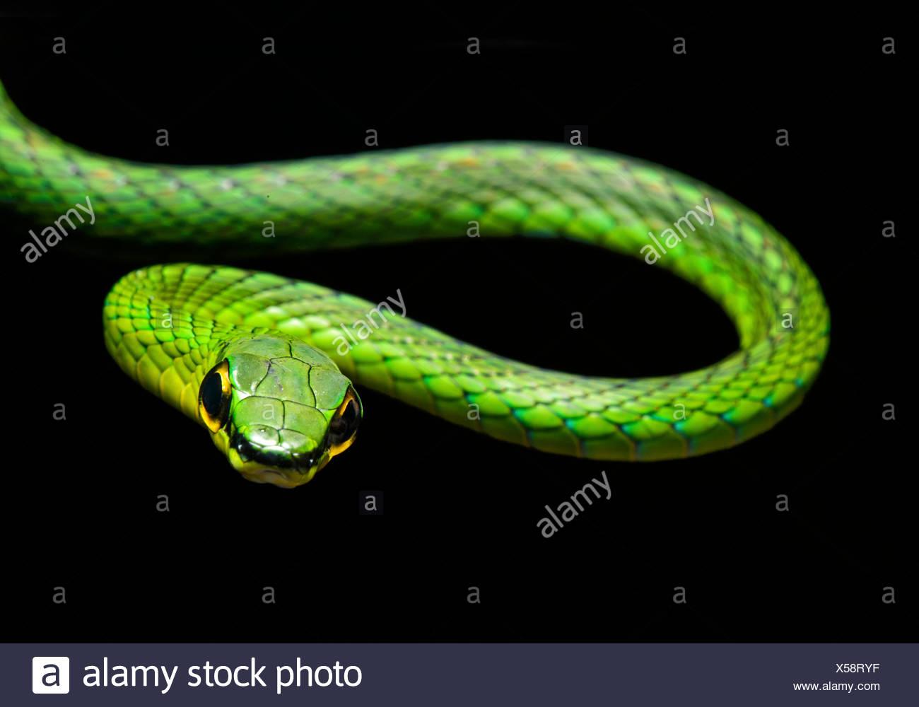 La serpent de vigne (Oxybelis brevirostris), snake (Colubridae), Chocó rainforest, Équateur Photo Stock