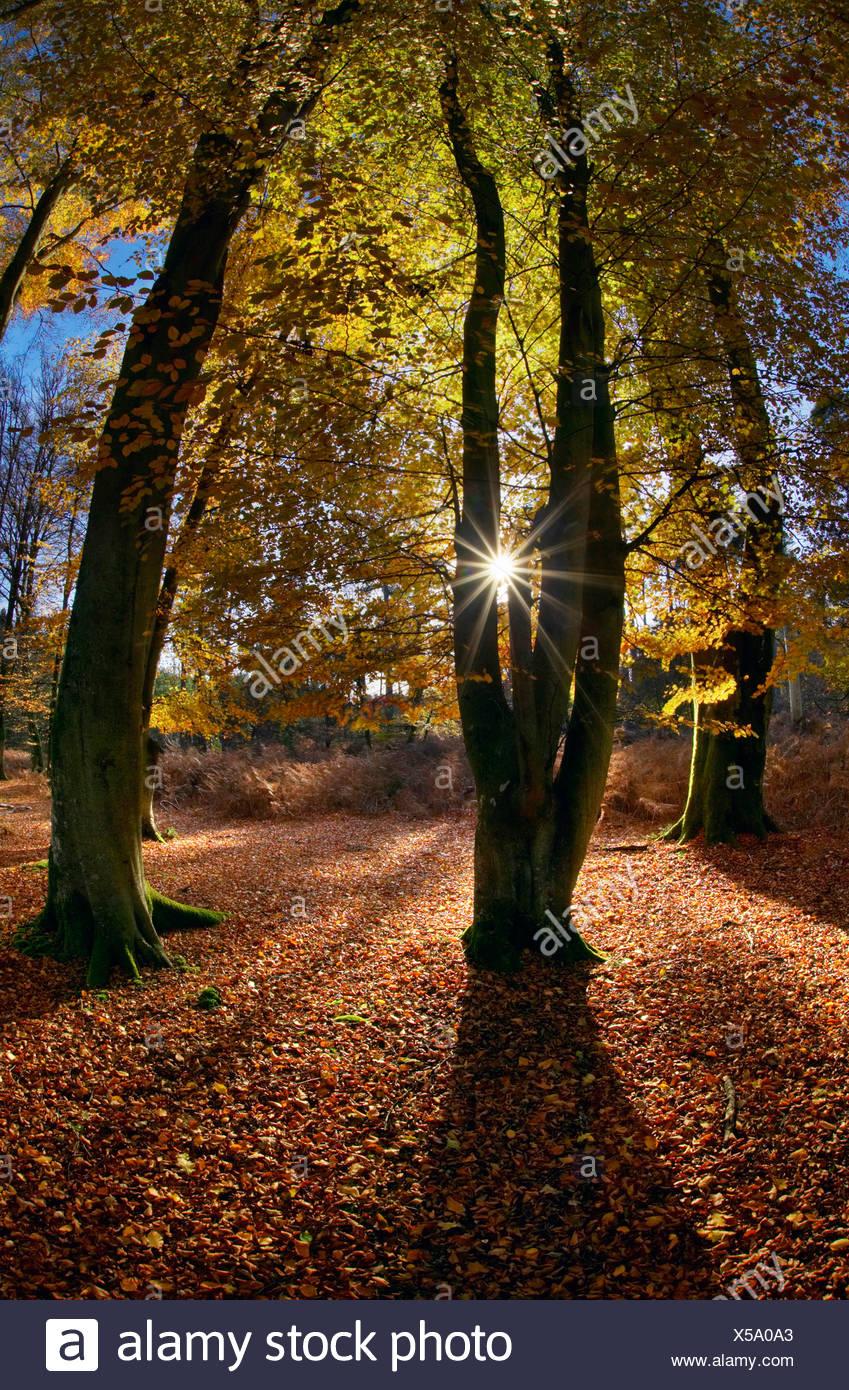 Les hêtres Bolderwood à. Parc National de New Forest. Le Hampshire. L'Angleterre Photo Stock