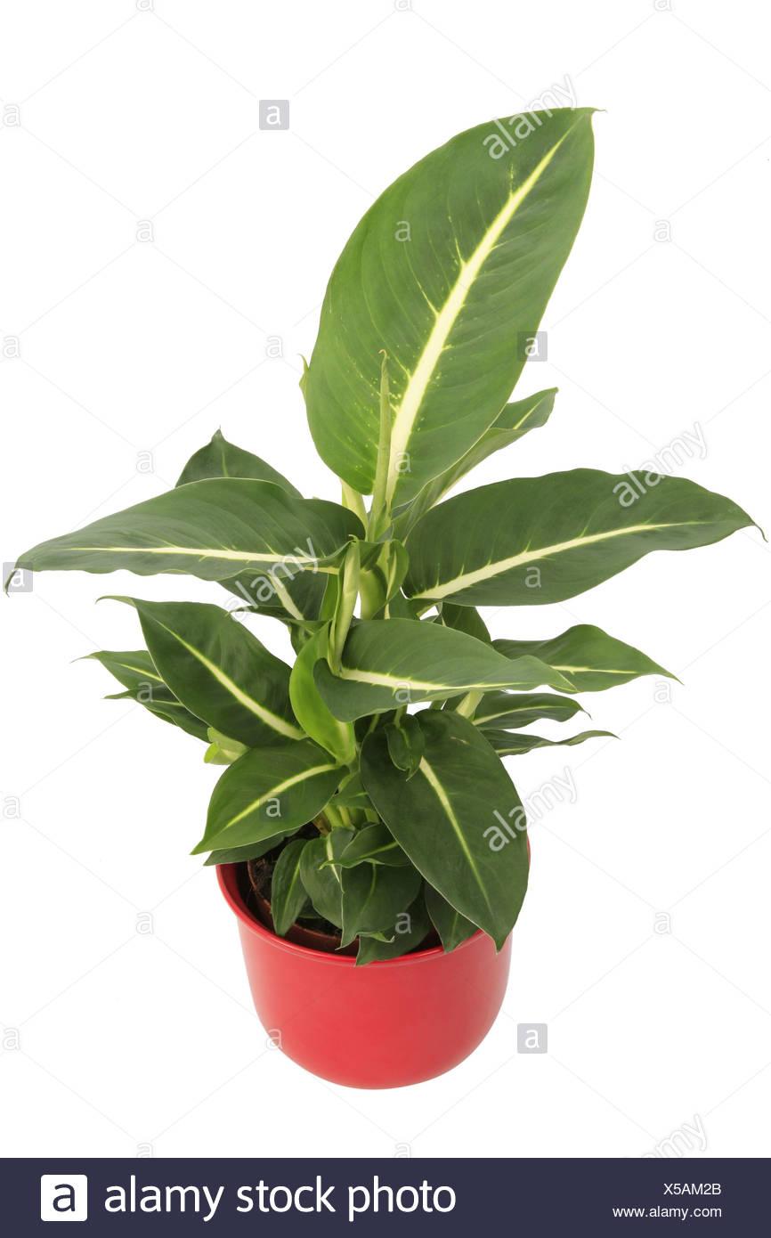 canne muette la belle m re de la langue dieffenbachia sterling plante en pot rouge banque d. Black Bedroom Furniture Sets. Home Design Ideas