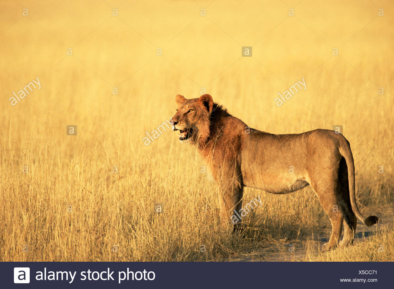 Lion d'Afrique Photo Stock