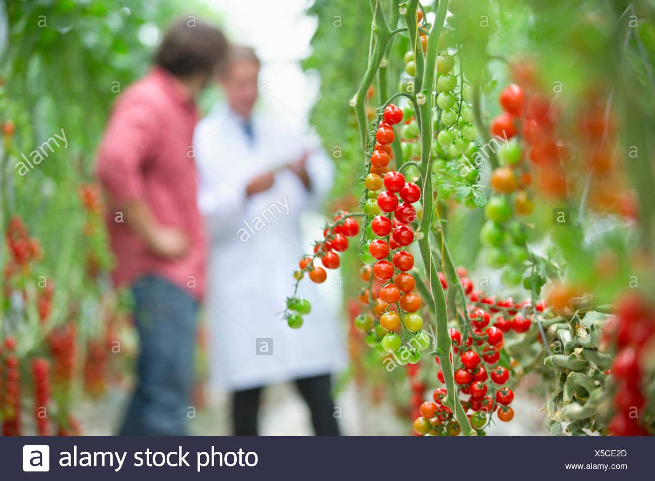 Le mûrissement des tomates sur vigne Photo Stock