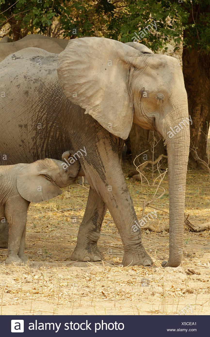 Avec l'éléphant d'veau de lait, Mana Pools, Zimbabwe Photo Stock