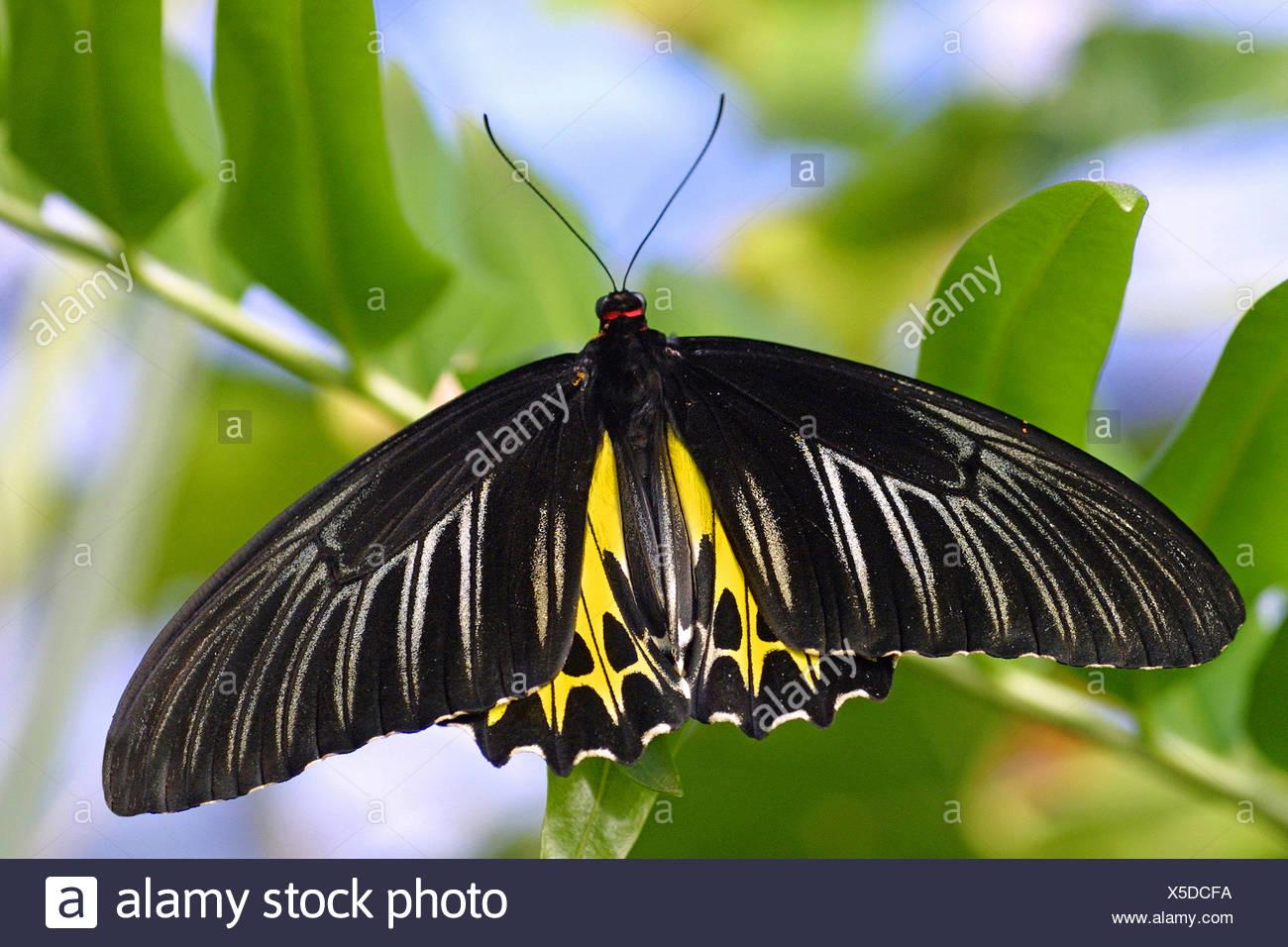 Papillons tropicaux (Troides helena), sur une branche Photo Stock