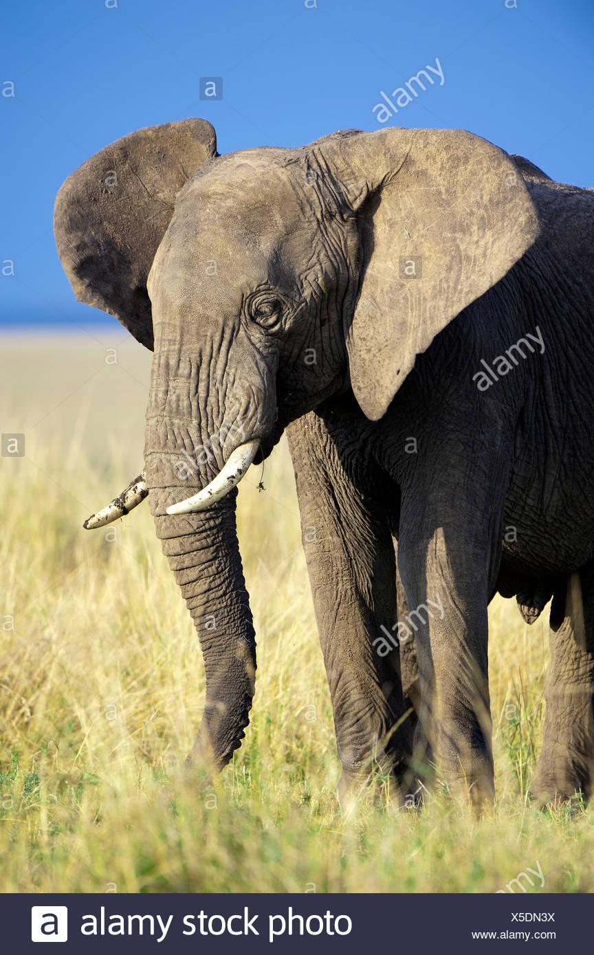 Éléphant d'Afrique Loxodonta africana (Bull), Samburu National Park, Kenya, Afrique de l'Est Photo Stock