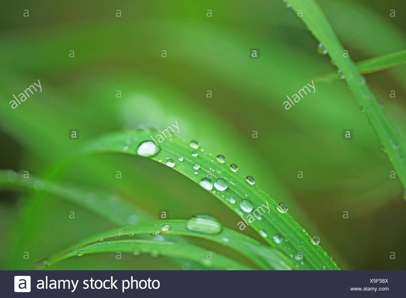 Brins d'herbe, de rosée, Close up, Banque D'Images
