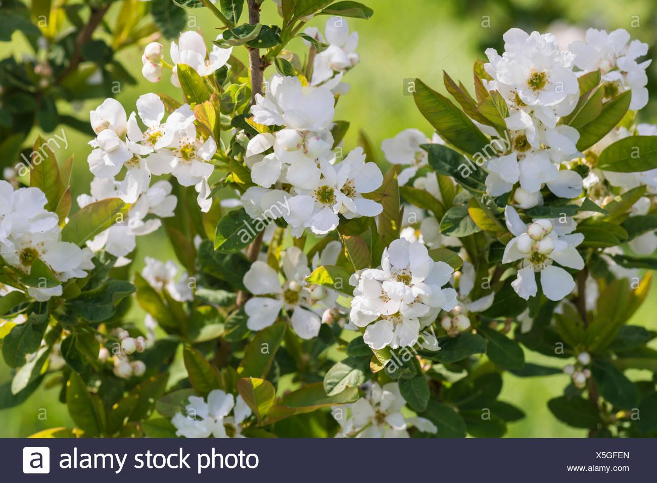 un arbre Martin le 1er Avril 2020 trouvé par Martine - Page 2 Arbre-genealogique-blanche-neige-l-exochorda-serratifolia-petites-fleurs-blanches-en-plein-air-de-plus-en-plus-x5gfen