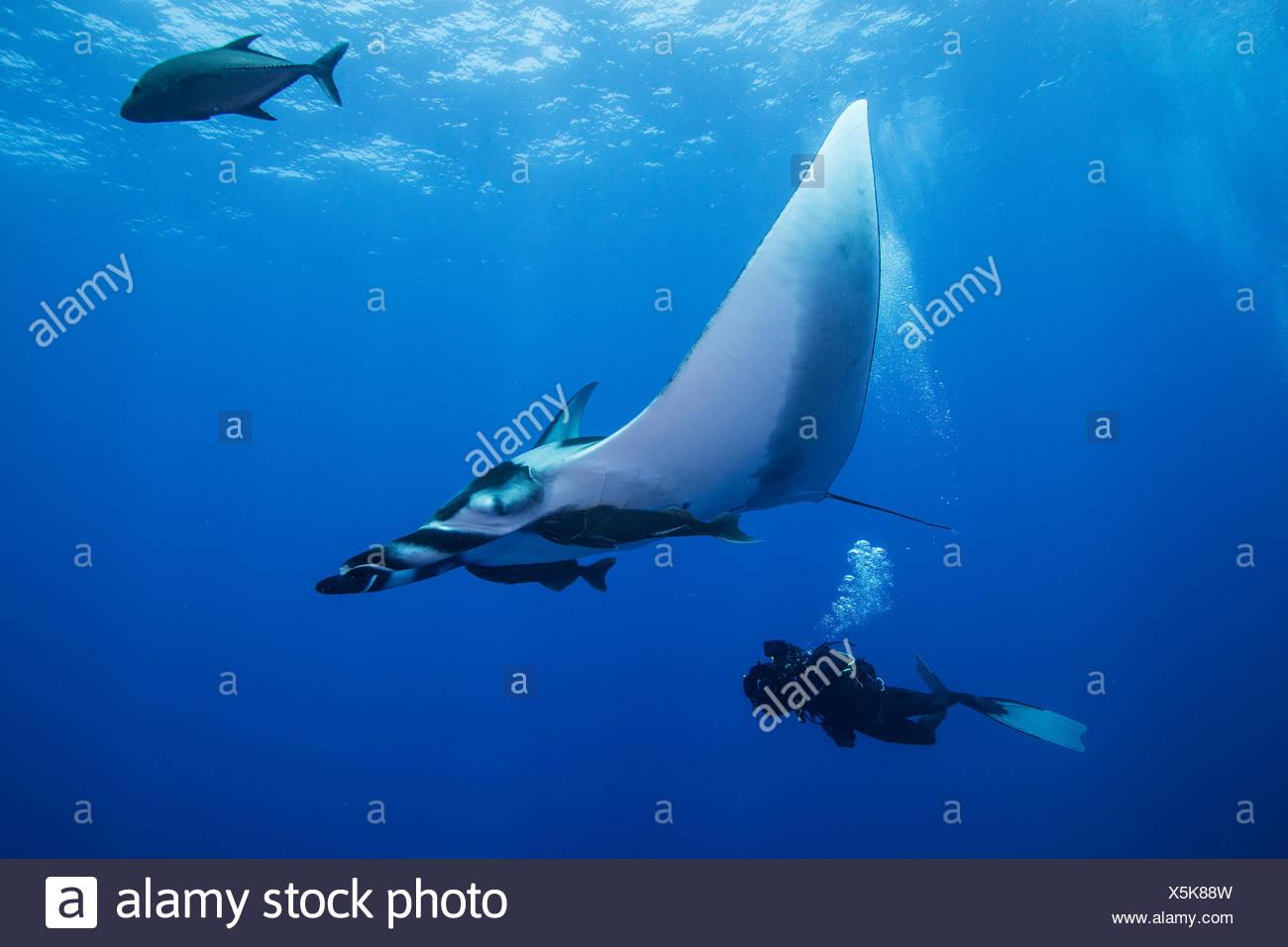 Plongée sous marine natation avec raie Manta géante (Manta birostris), vue sous-marine, San Benedicto, Colima, Mexique Banque D'Images
