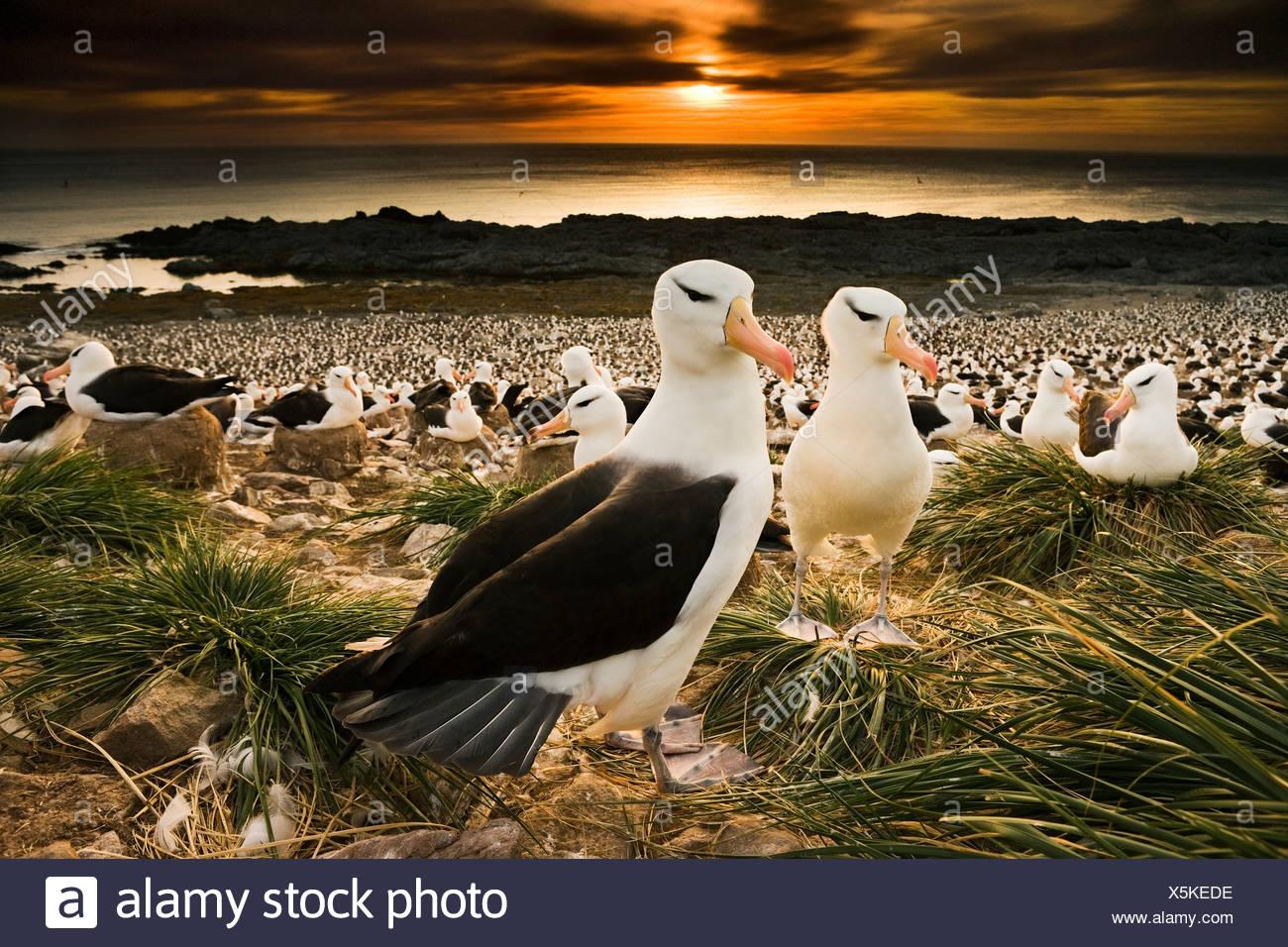 Albatros à sourcils noirs, des îles Malouines Photo Stock