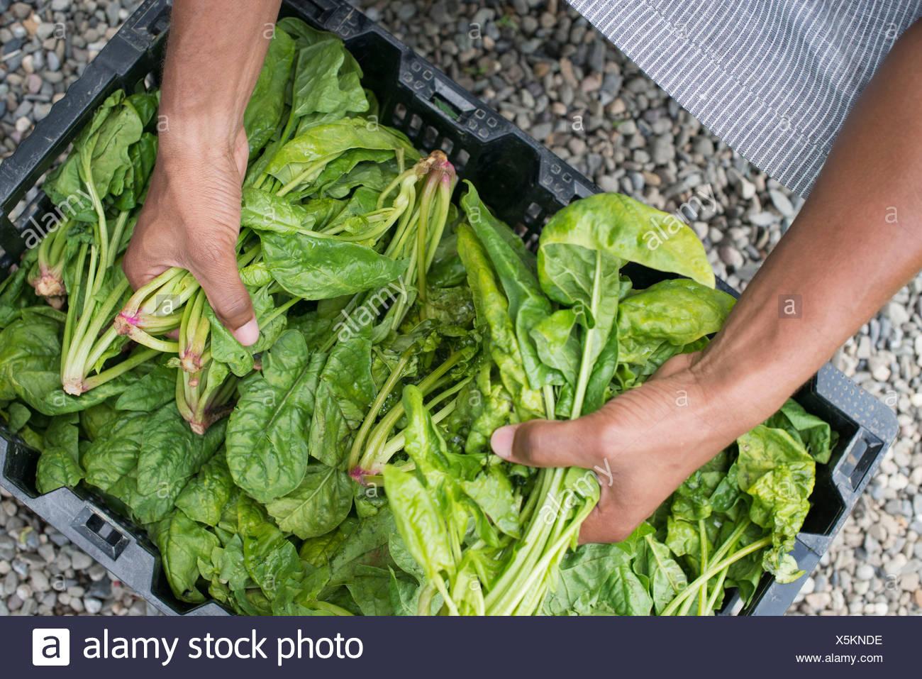 L'agriculture biologique. Un homme vert feuille d'emballage de légumes. Photo Stock