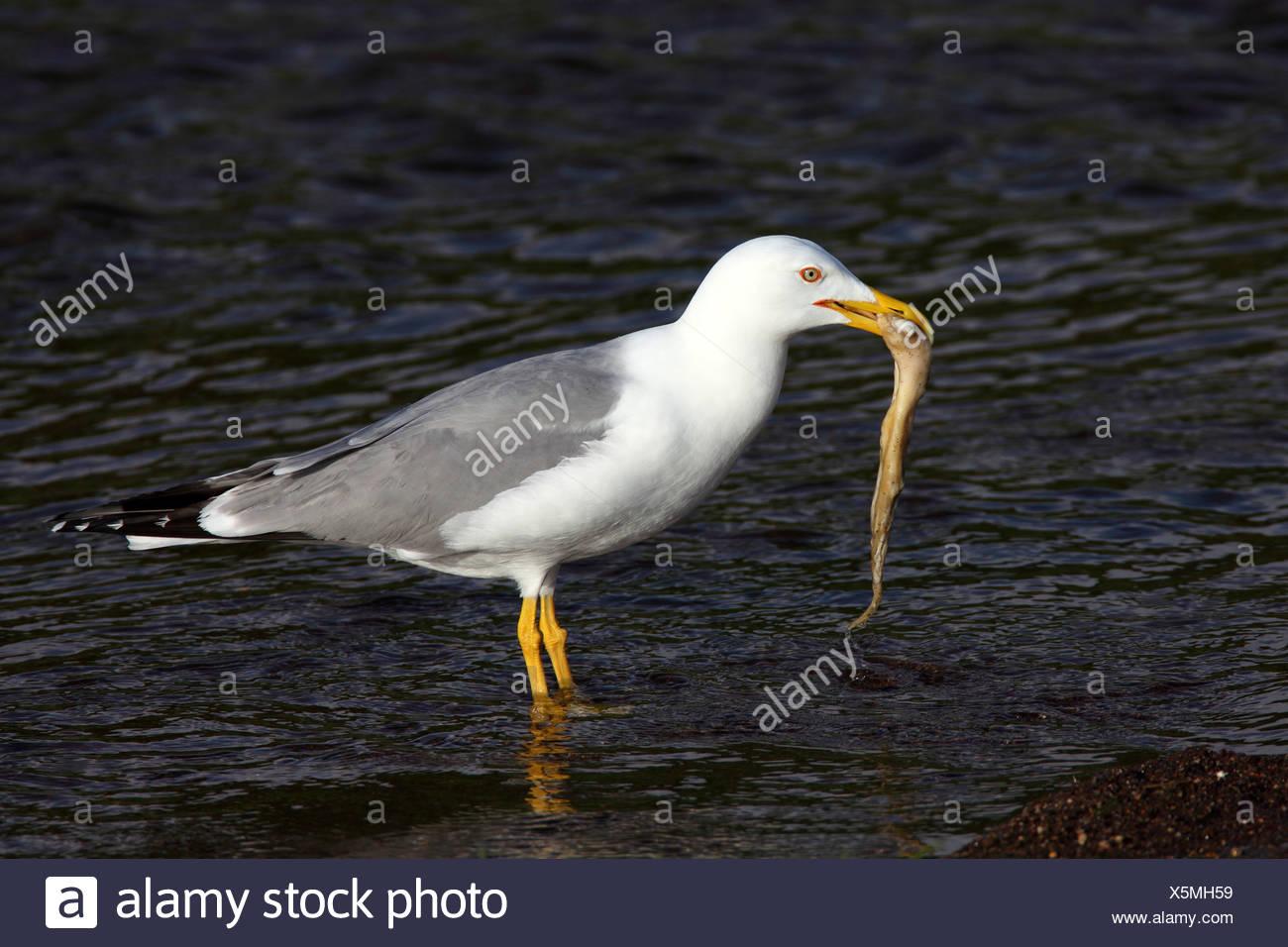 Yellow-legged Gull (Larus cachinnans), comité permanent de l'eau avec un inshallow calamar dans son bec, Grèce, Lesbos Banque D'Images
