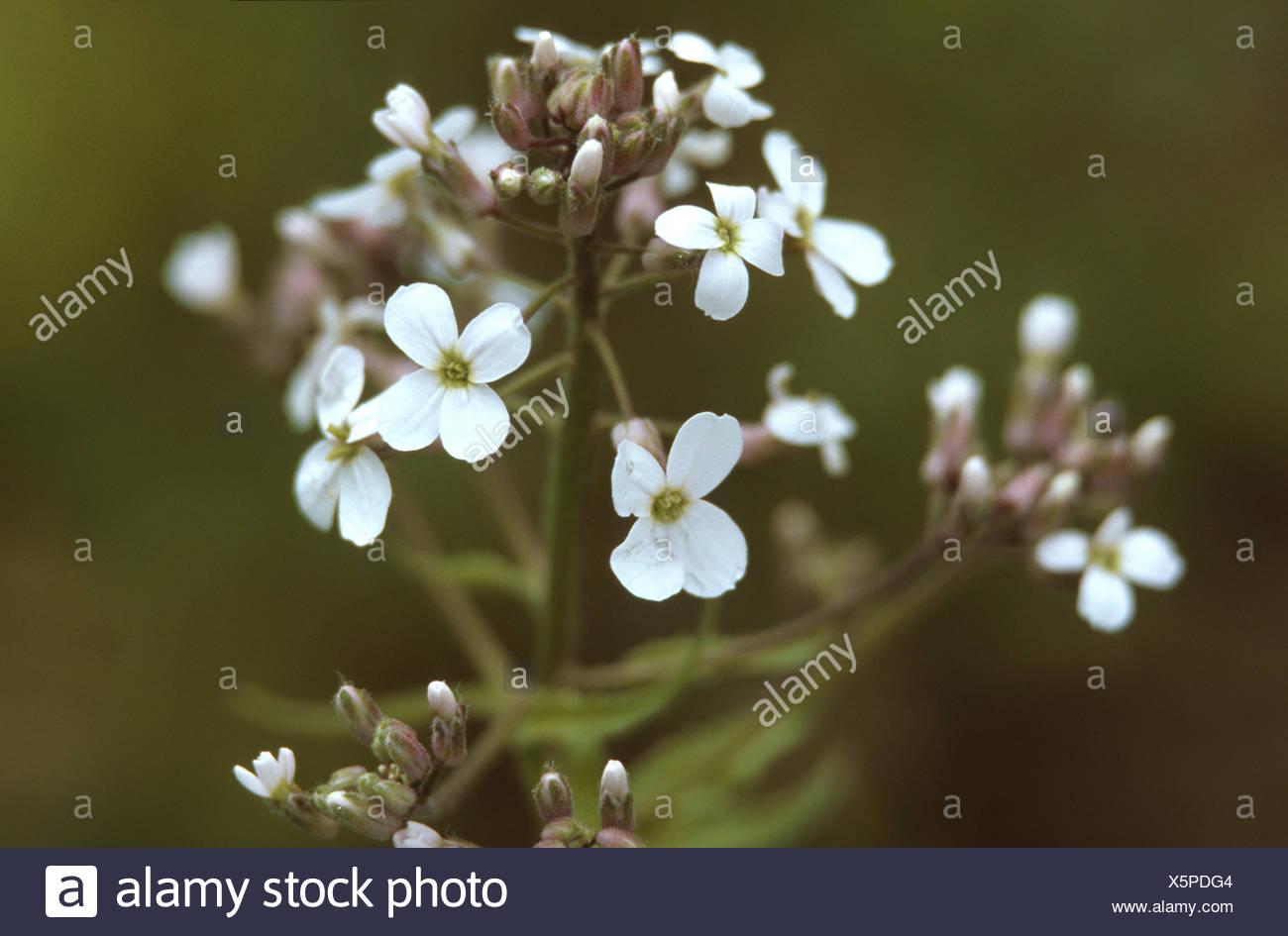 La dame-fusée, dame de la violette, roquette, Dame's rocket (Hesperis matronalis), à fleurs blanches, Allemagne Photo Stock