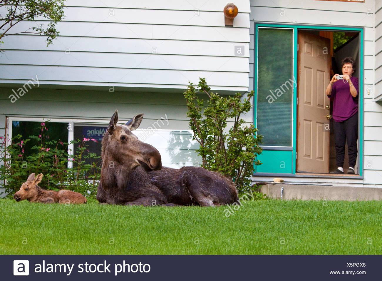 Mama Moose fixant dans des cour avec une chambre lits jumeaux Photo Stock