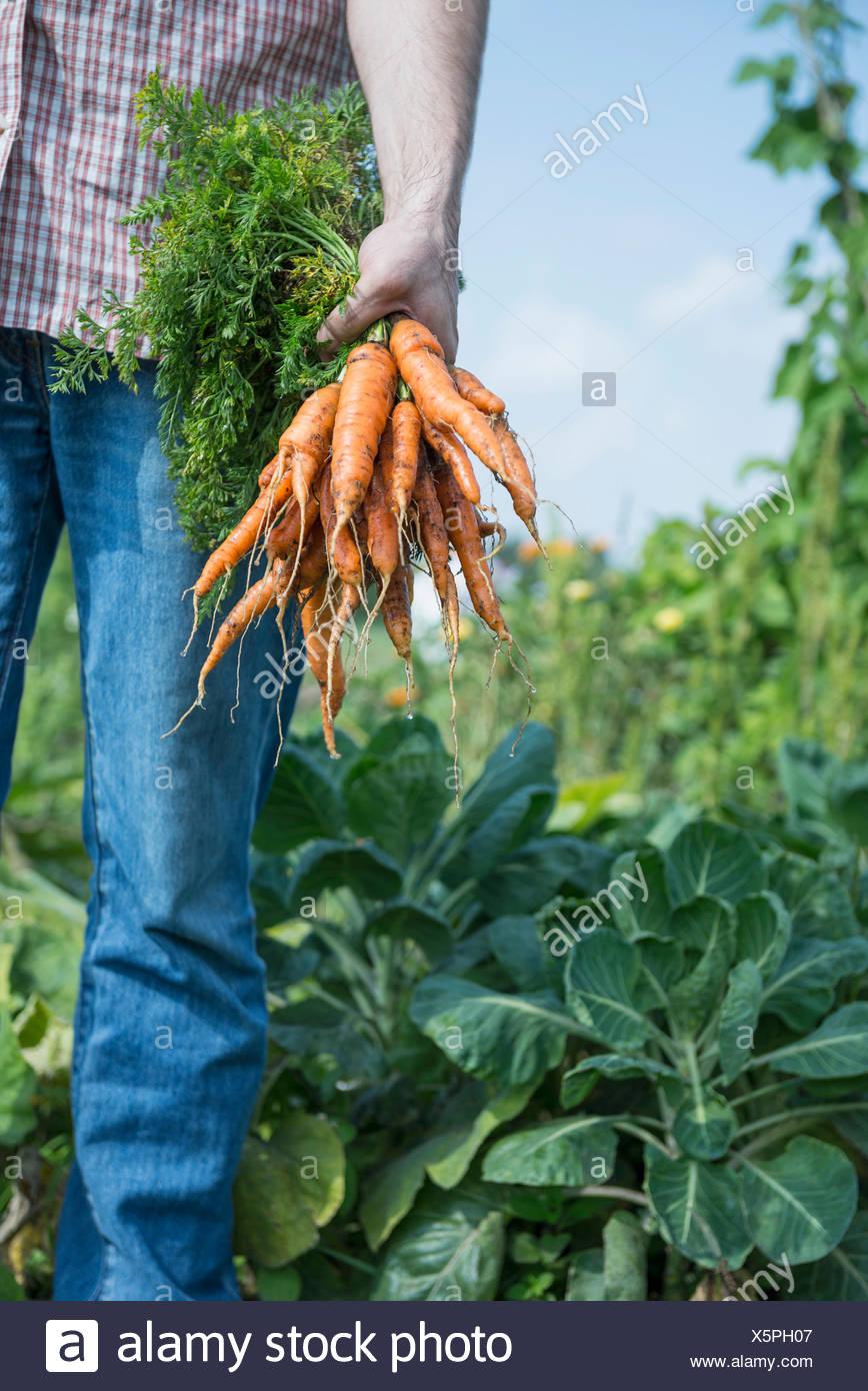 L'homme de plus en plus propres légumes carottes jardin Photo Stock