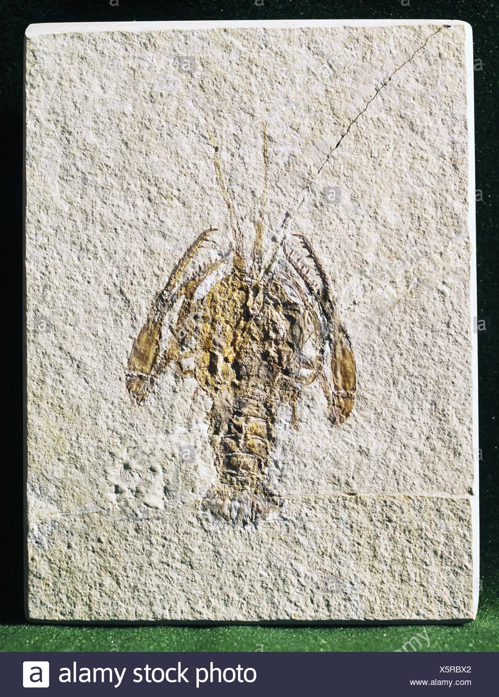 La préhistoire, les fossiles, les animaux, les crustacés, paleopentacheles roettenbacheri Additional-Rights-Clearences,-NA Photo Stock