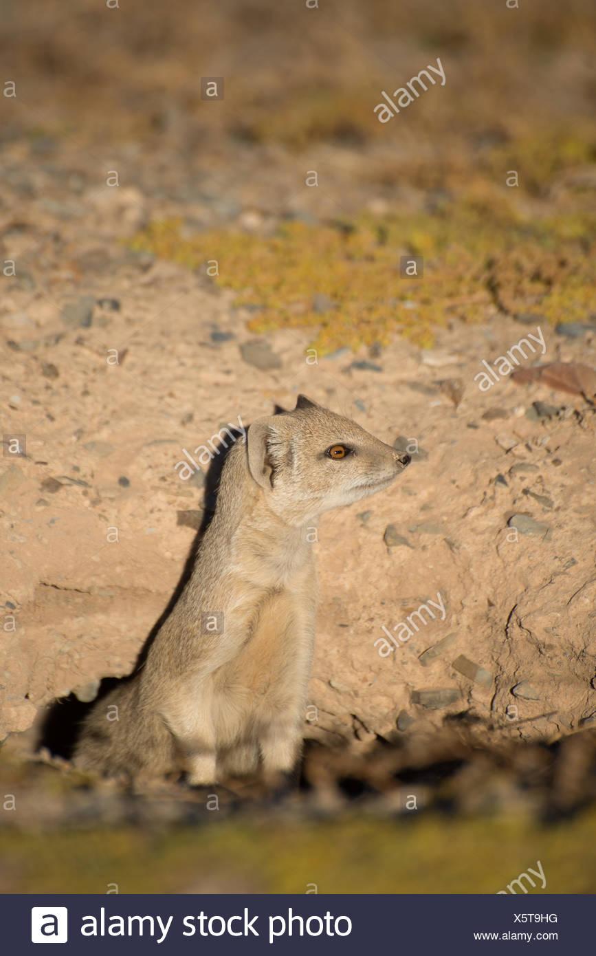 Mongoose fatigués qui sort c'est cou Photo Stock