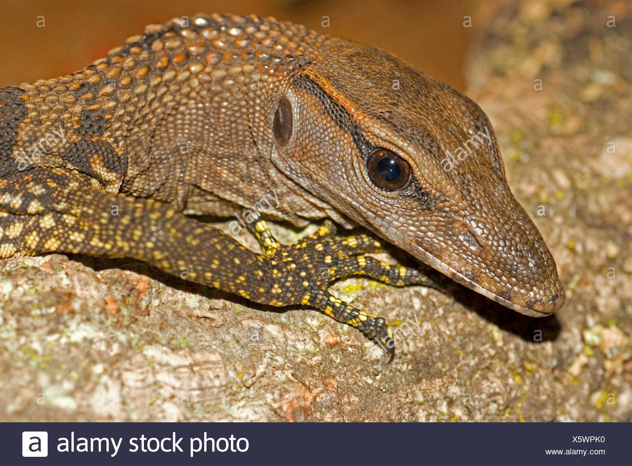 Moniteur à cou rugueux, Tree lizard, Arlequin moniteur (Varanus rudicollis), portrait Photo Stock