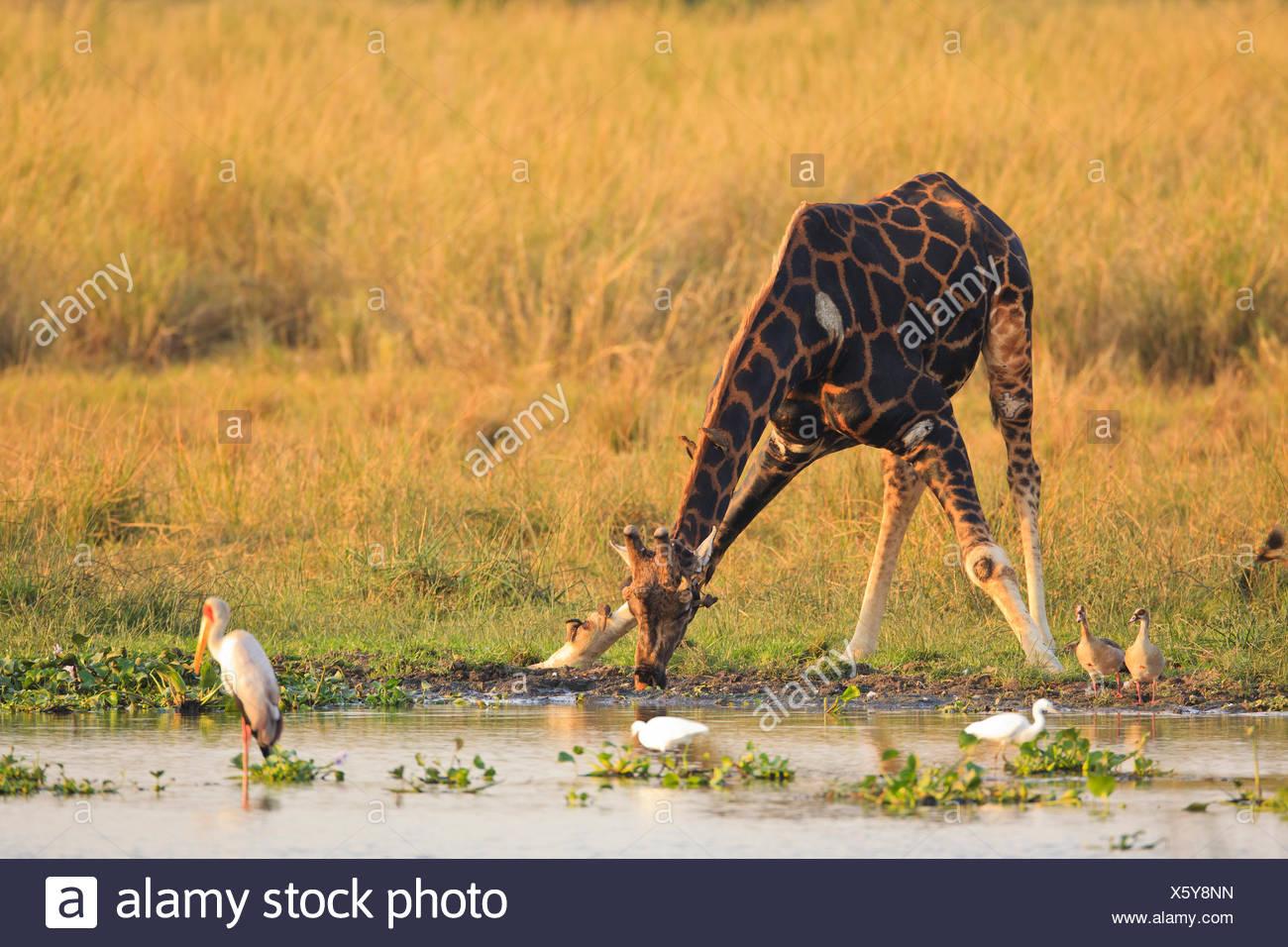 Une girafe Rothschild Giraffa camelopardalis rothschildi, entouré par l'eau potable, les oiseaux. Photo Stock