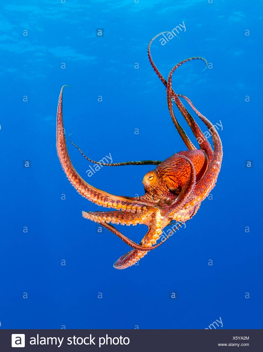 Jour poulpe, Octopus cyanea, Kohala Coast, Big Island, Hawaii, USA Photo Stock