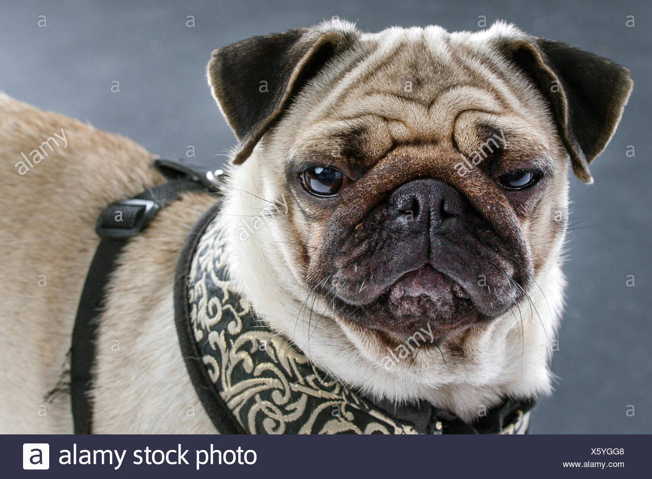 Le PUG (Canis lupus f. familiaris), portrait d'un pug moody Photo Stock