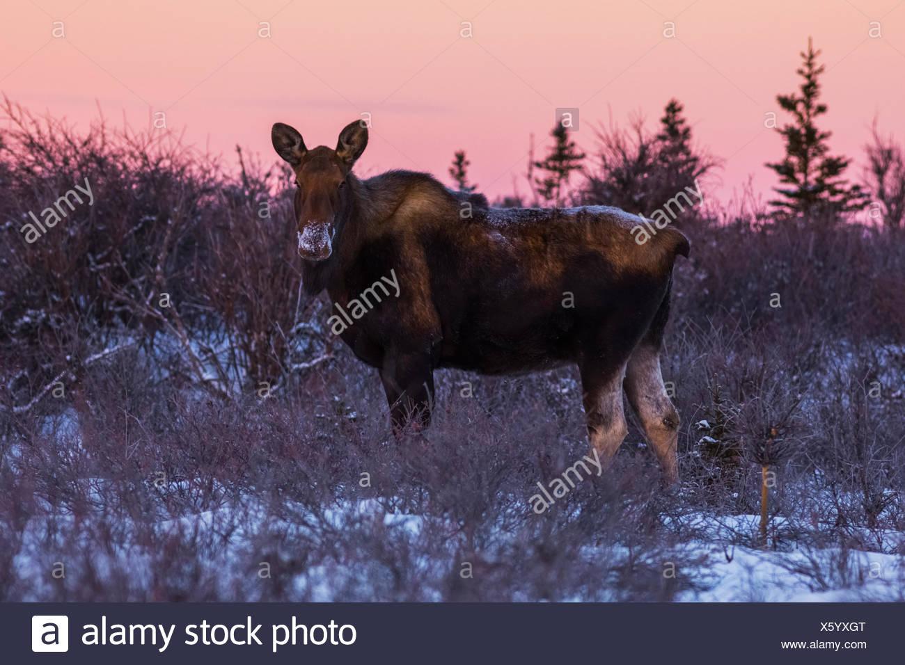 Une femelle orignal (Alces alces) fourrages dans la neige au lever du soleil au milieu de l'hiver; Alaska, États-Unis d'Amérique Photo Stock