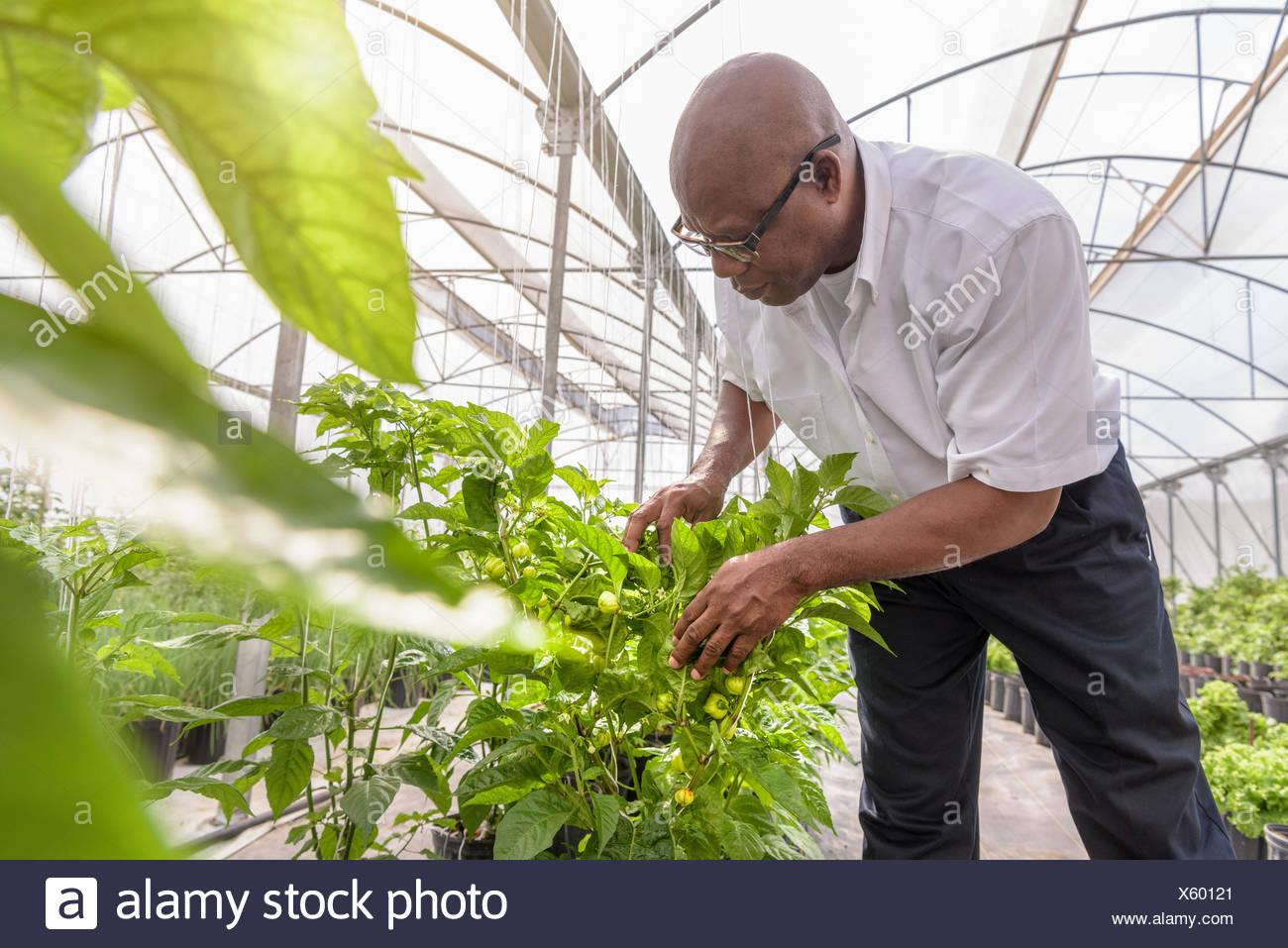 Manager L'inspection dans l'usine poivron ferme hydroponique à Nevis, West Indies Banque D'Images
